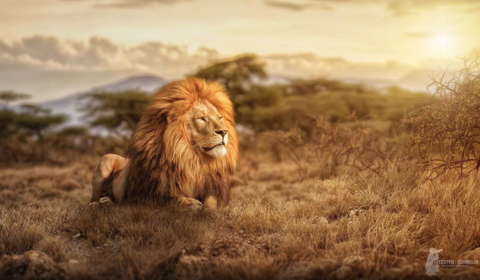 Majestic Lion - Tagi Video Image reference database